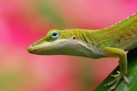 蜥蜴,背景,粉红色,绿色