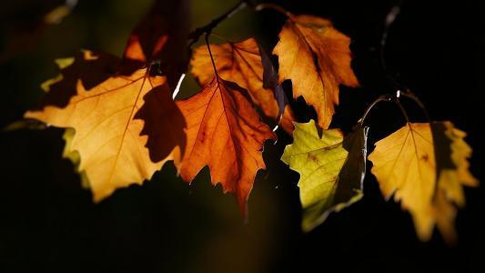 叶子,秋天,黄色