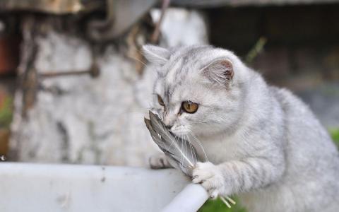 可爱猫咪手抓羽毛