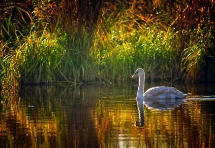 湖,芦苇,天鹅