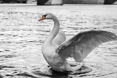 天鹅,白色,水,橙色,鸟,翅膀