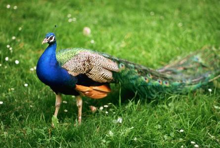男,鸟,孔雀,步行,动物,英俊