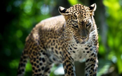 野兽,捕食者,豹,性质,绿党