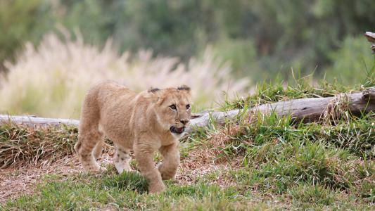 动物,狮子