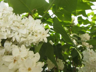 丁香,春天,性质