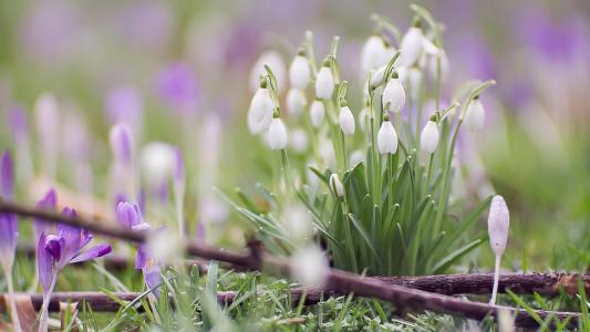 春天,照片,性质,鲜花,番红花,雪花莲