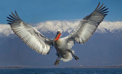 海鸟,鹈鹕,飞行,伊万·伊万诺夫