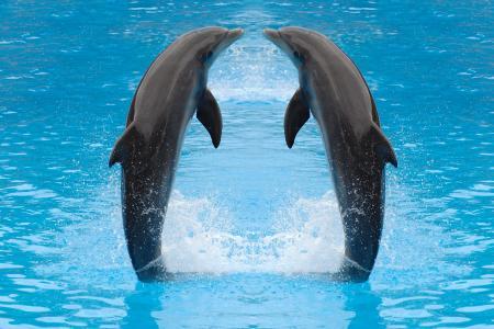 海豚,两个,动物