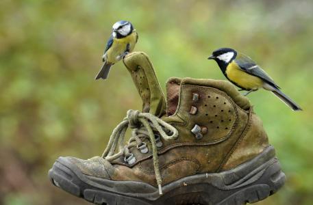 世界鸟类,鸟类,山雀,情侣,鞋子