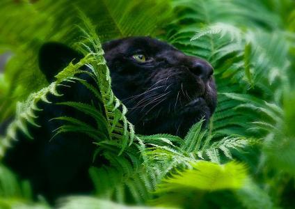 动物,豹,叶子