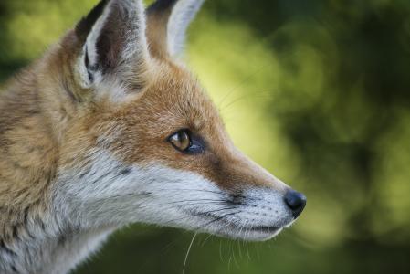 狐狸,耳朵,动物,枪口,红发,狐狸