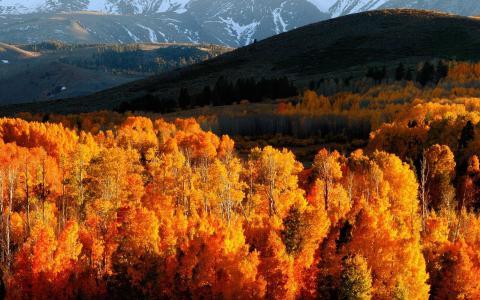 秋天,景观,山,雪,树,黄叶
