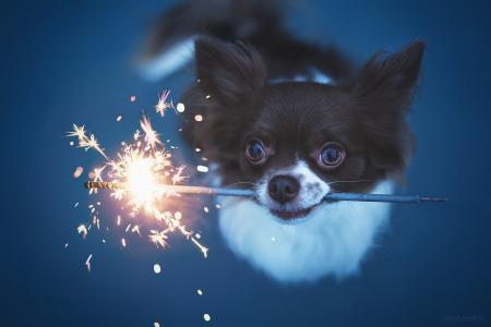 奇瓦瓦州,狗,小狗,看,孟加拉火,火花