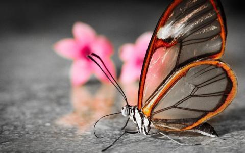 蝴蝶,透明,鲜花