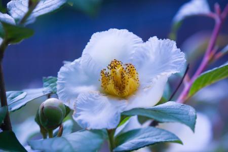 牡丹,特写,白,芽,鲜花