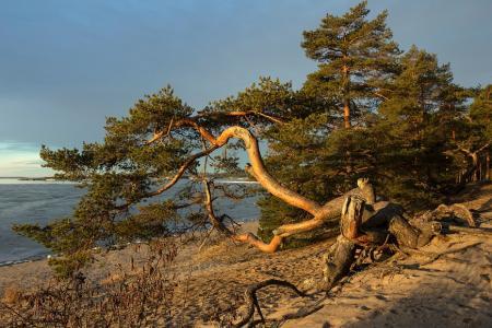 松树,根,沙,水,海边,alexOmRam