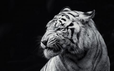 背景,老虎,野兽