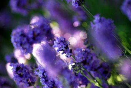 林间空地,颜色,鲜花,紫色,薰衣草,植物