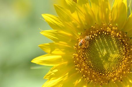 向日葵,蜜蜂,美女,宏,夏天,太阳,背景