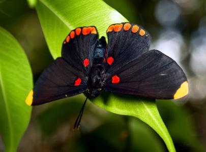 叶子,大,蝴蝶,黑色
