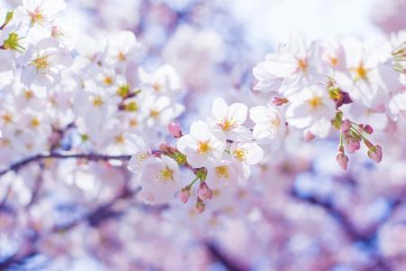 树,分支机构,春天,开花