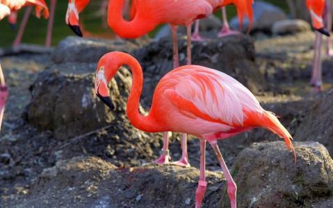 火烈鸟,粉红色,石头