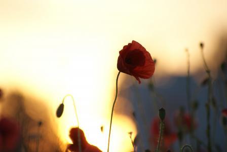 领域,日落,鲜花,剪影,太阳,罂粟,天空,罂粟