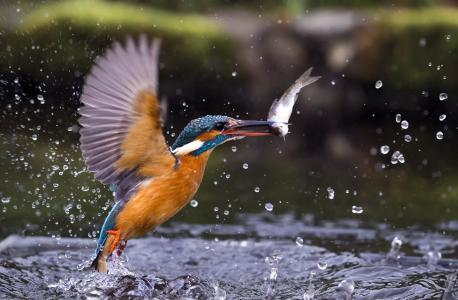 鸟,翠鸟,水,鱼,喷雾剂