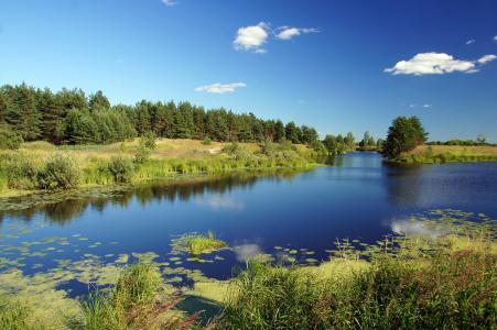 河,溪,松树,夏天,睡莲
