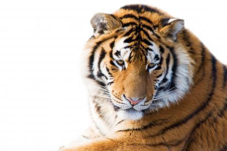 大猫,老虎,动物
