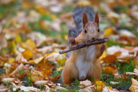 动物,啮齿动物,松鼠,性质,秋天,叶子,叶子,棍子
