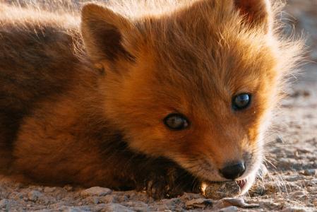 狐狸,性质