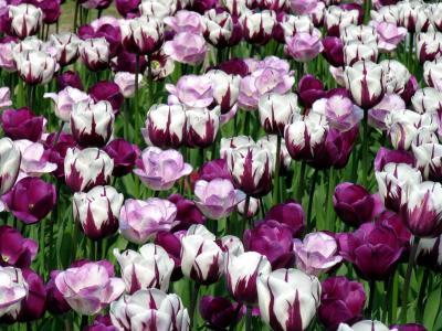 郁金香,鲜花,白,紫罗兰