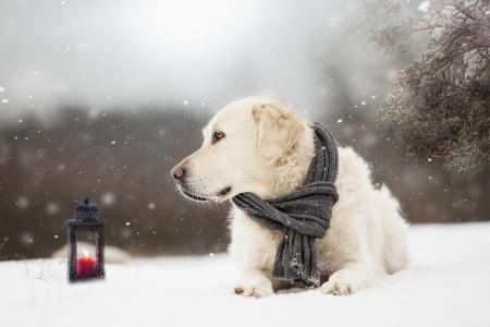 动物,狗,狗,猎犬,雪,冬天,围巾,灯笼,分支机构