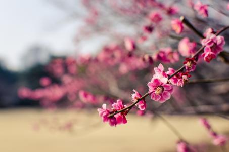 公园,粉红色,树,花,梅花,日本,分支机构