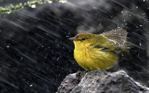 麻雀,黄,鸟,枝,野