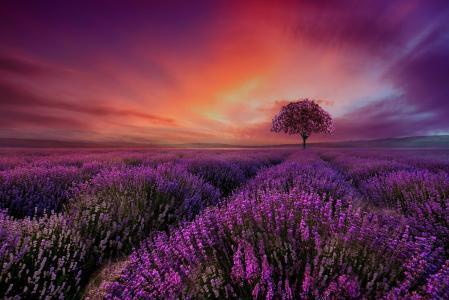 性质,场,薰衣草,树,樱桃,日落,幻想,艺术,美丽