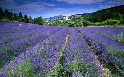 领域,薰衣草,法国,鲜花,普罗旺斯