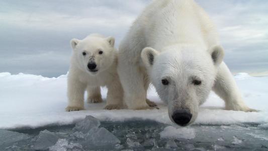 动物,北极熊,熊,小熊,幼仔,umka,冰,水
