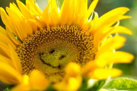 向日葵,宏观照片,图像,超级照片,积极,心情