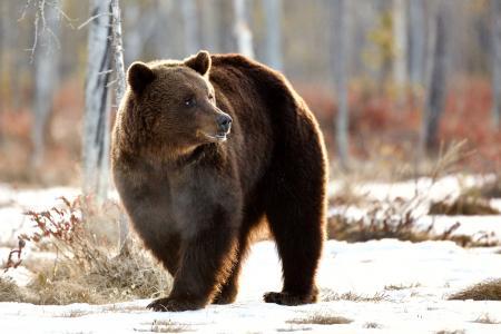 动物,捕食者,熊,森林,性质,冬天