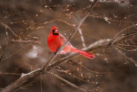 鸟,北部,红衣主教,红色,分支