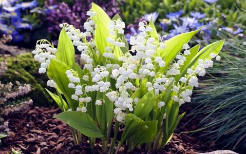 铃兰,春天的花朵