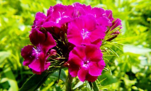 鲜花,康乃馨