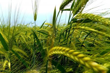 小麦,小穗,耳朵,宏