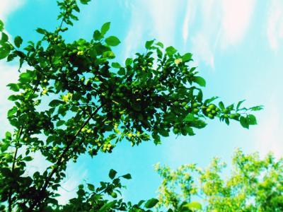 天空,浆果,植物,分支