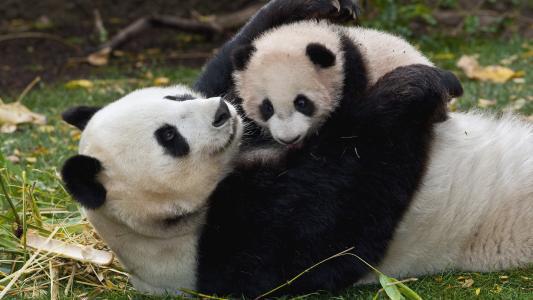 宝贝,熊猫,妈妈,宝贝