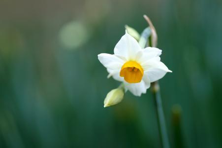 绿色,花,白色,花瓣,水仙,茎
