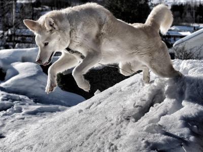 动物,狗,狗,跳,冬天,雪