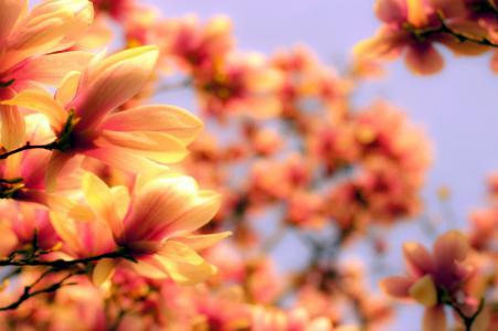 开花,分支机构,明亮,花瓣,小枝,玉兰